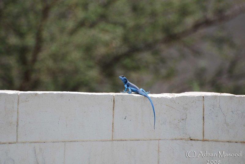 12 - Blue Lizard in Hadda - May 08.jpg
