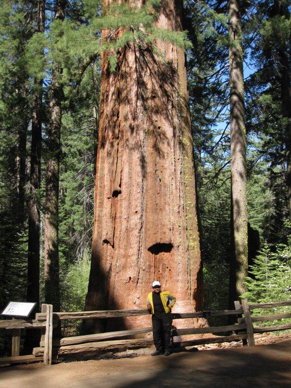 Tolumne Grove - Giant Sequoias