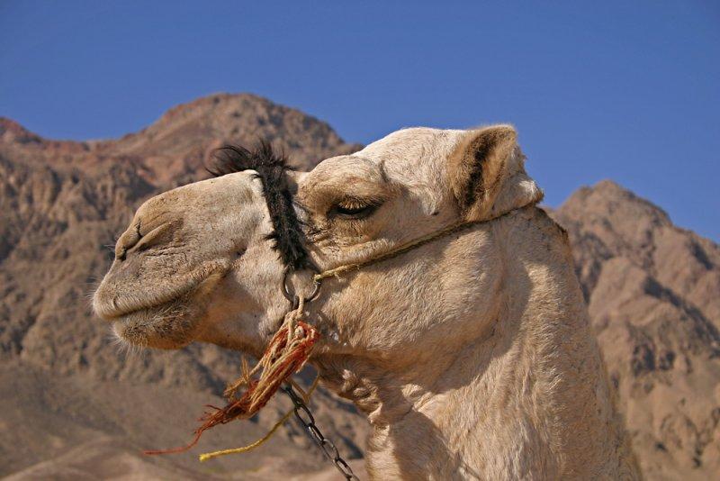 top side creatures in Ras Abu Galum