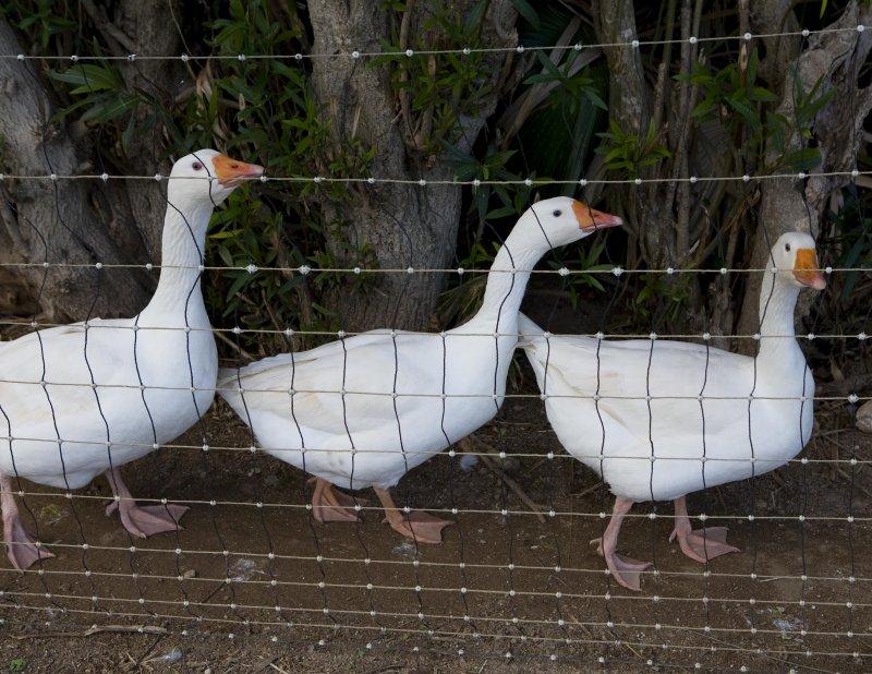 Wadson geese.jpg