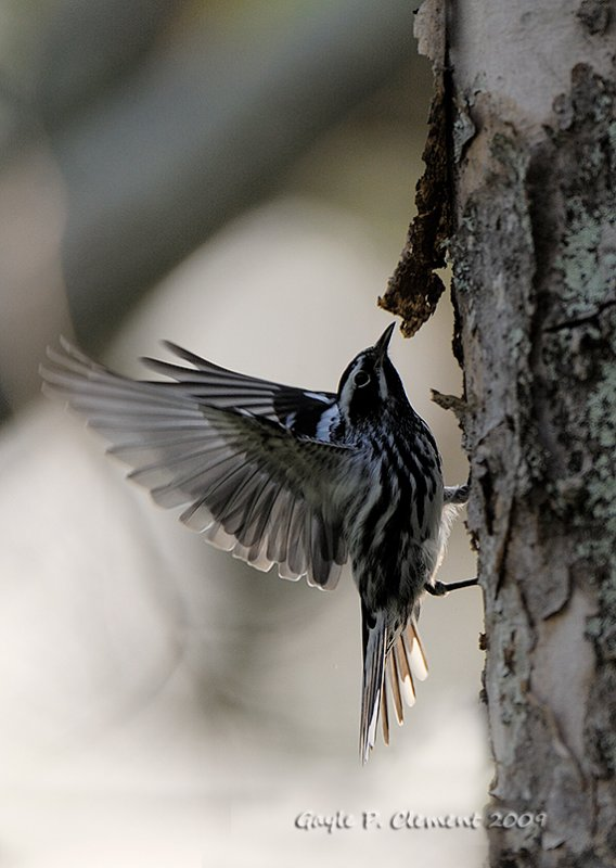 Black and White Warbler Wingspread