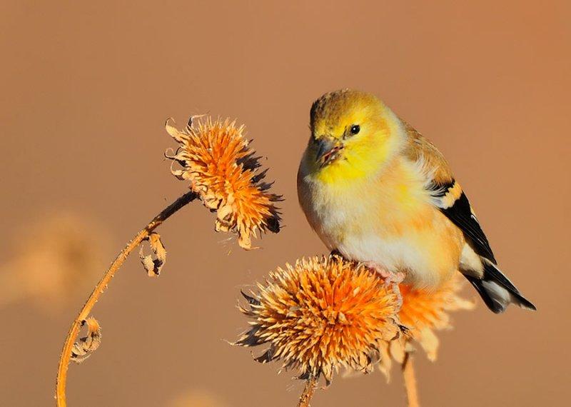Western Goldfinch II
