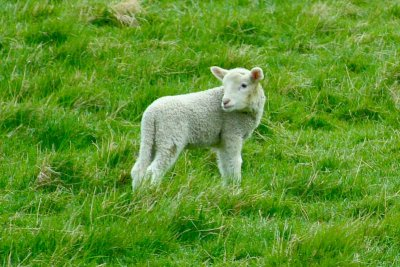 Ginny needed a lamb photo
