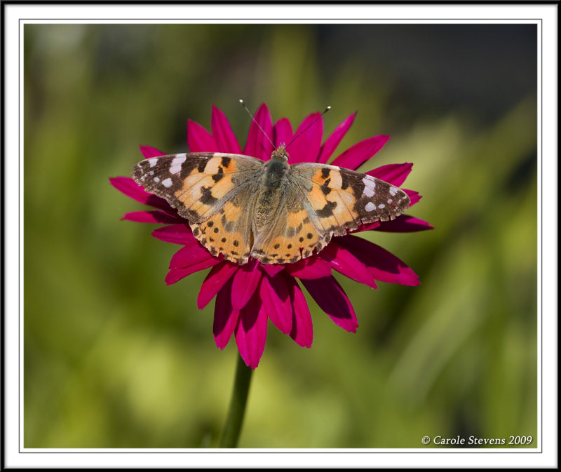 Painted lady - Vanessa cardui !