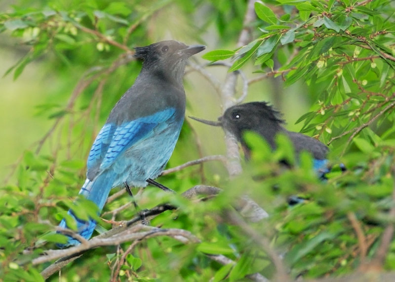 Stellers Jay pair, deformed bill and normal, Sept 2008