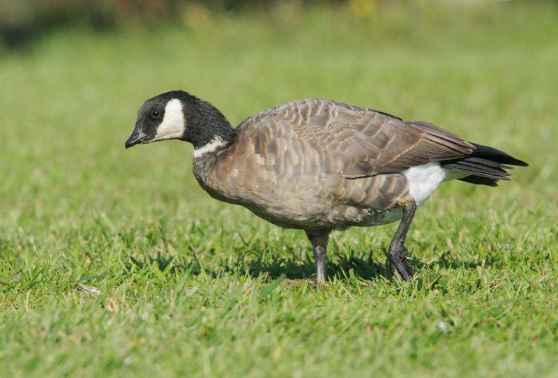 Cackling Goose, Aleutian