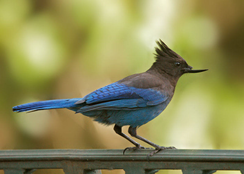 Stellers Jay, deformed bill, April 2009