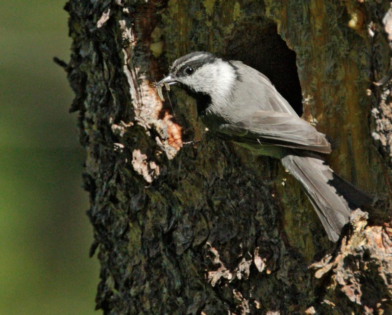 Mountain Chickadee, at nest with food