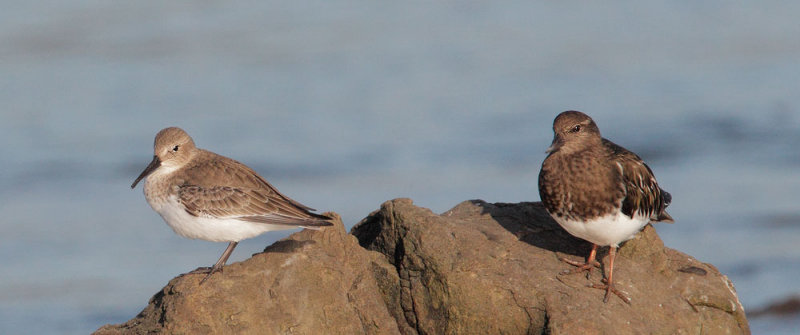 Dunlin and Black Turnstone