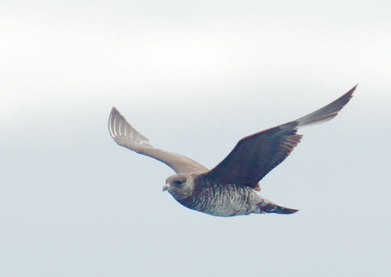 Pomarine Jaeger, non-breeding adult