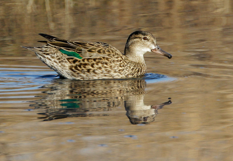Green-winged Teal, female