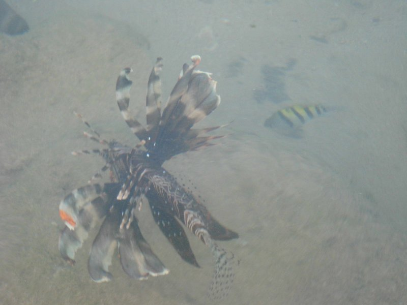 A lion fish seen at the shore