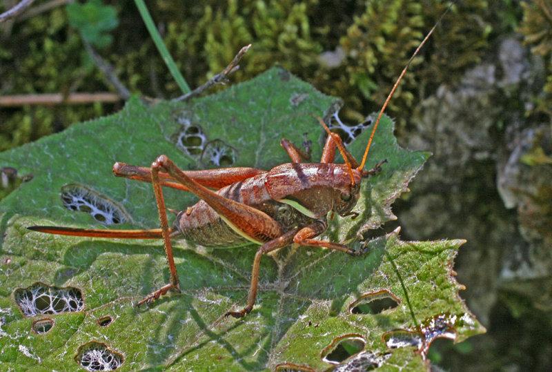 alpine dark bush cricket 2.jpg