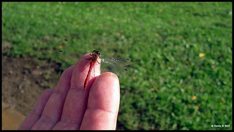 Dragon fly on my hand11-58-51.jpg