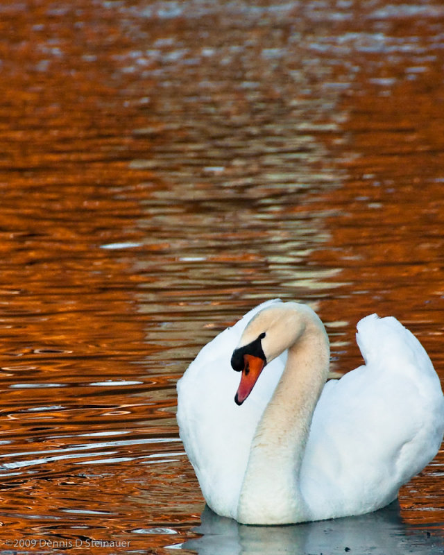 2/6/09 - Swan on Sunset Pond<br><font size=3>DS20090206_0013p.jpg</font>