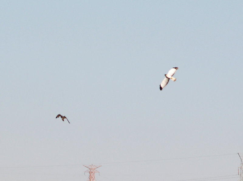 Northern Harrier - 10-25-08 dog fight between Harrier and Peregrine
