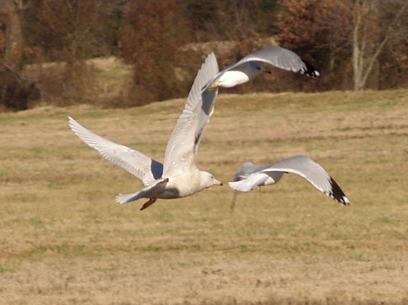 Glaucous Gull - 12-25-08 - 1st yr Shelby Farms -