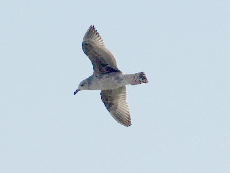 Lesser Black-backed Gull - 3-9-08 Pickwick Dam -first winter plumage