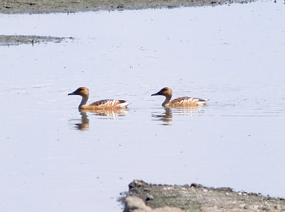 Fulvous Whistling-Duck - 5-18-08 Ensley