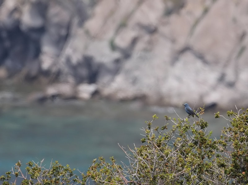 Blauwe Rotslijster - Monticola solitarius - Blue-Rock Thrush