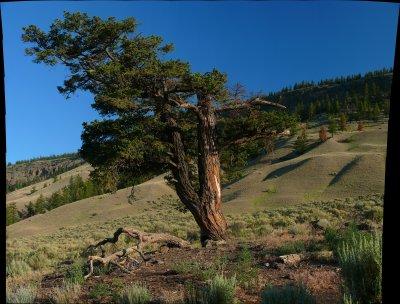 Old fir tree, Canoe creek 20.jpg
