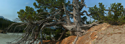 The Ancient Pine