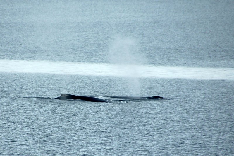 Humpback whales - Mother and calf