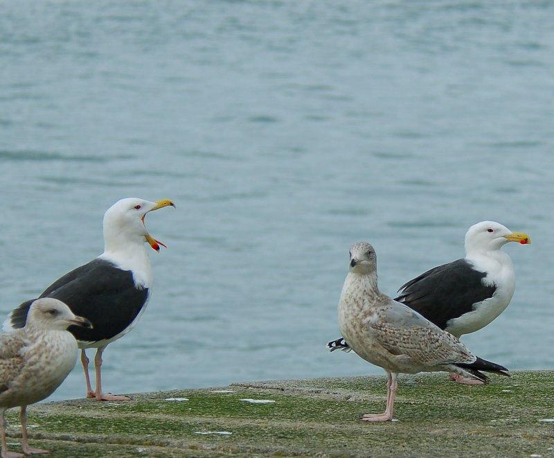 Yawning gull