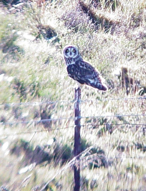 Haw4184 Short-eared Owl.jpg