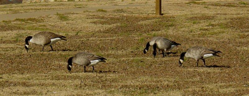 Geese5455 Cackling Geese 4.JPG