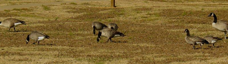 Geese5456 Cackling Geese 6.JPG