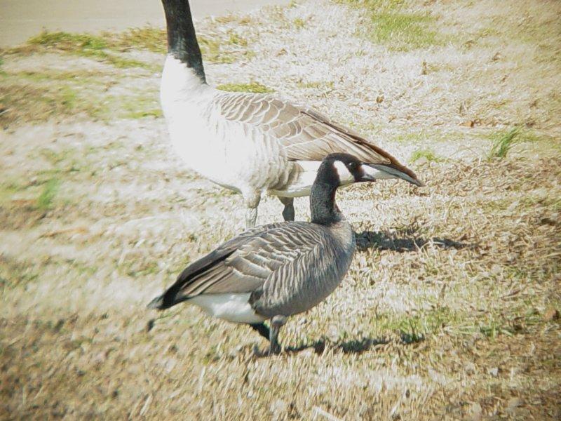 Geese5457 Cackling.JPG