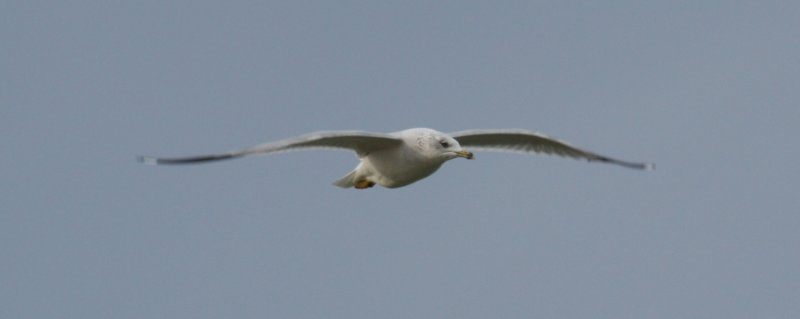 IMG_0129 RB Gull Flight.JPG