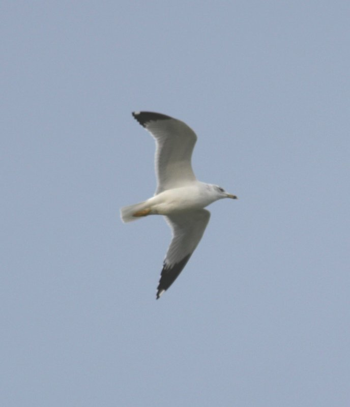IMG_0130 RB Gull Flight Underwing.JPG