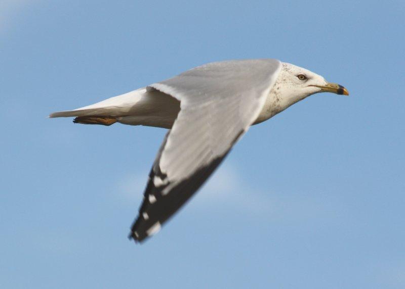 IMG_0131 RB Gull Flight.JPG