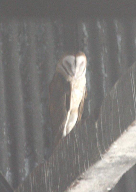 Barn Owl 0420a