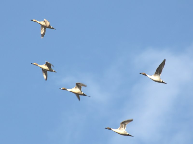 Northern Pintails 0442a