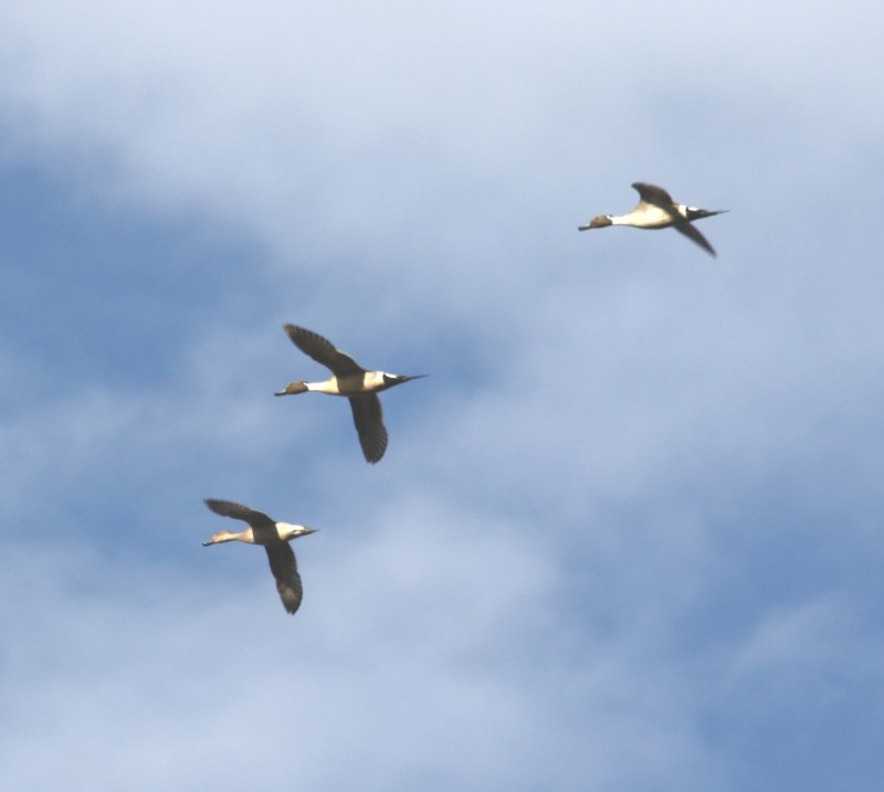 Northern Pintails 0446a