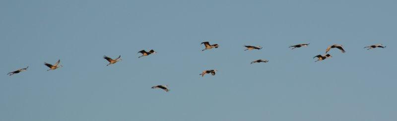 Sandhill Cranes 0537a