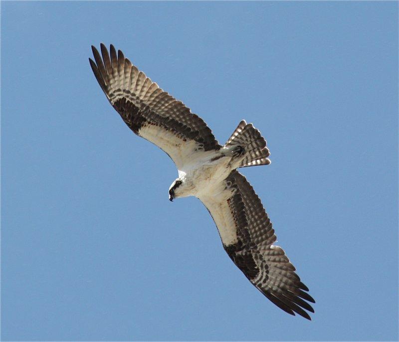 0168 Osprey