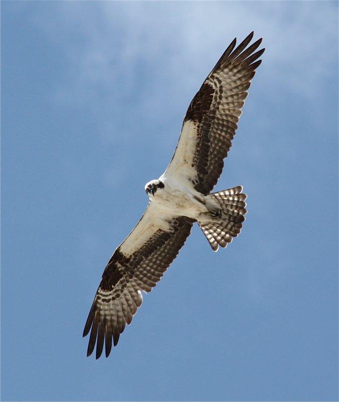 0166 Osprey
