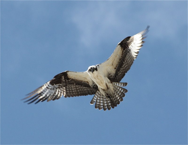 0164 Osprey