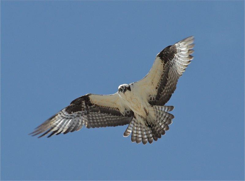 0163 Osprey