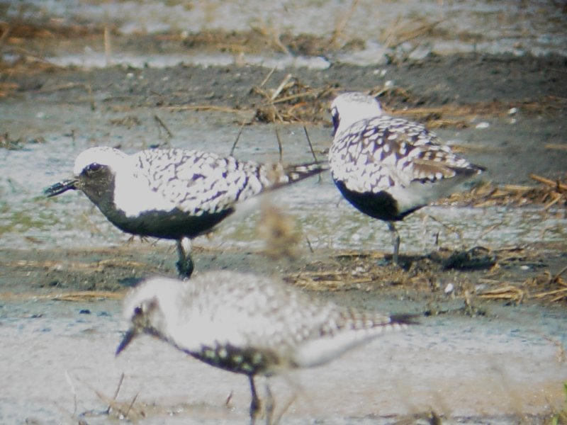 119-02034 Blk-bellied Plover.JPG