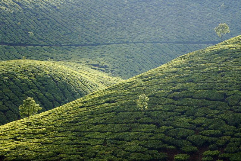Tea Estate, Munnar