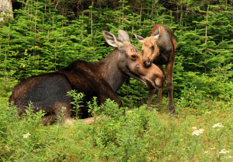 Calf Moose Snuggling Mama