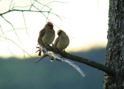 Cedar Waxwings In Love