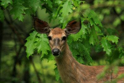 Doe Deer in an Oak Stand