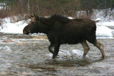 Calf Bull Moose Fording the Swift River (d)