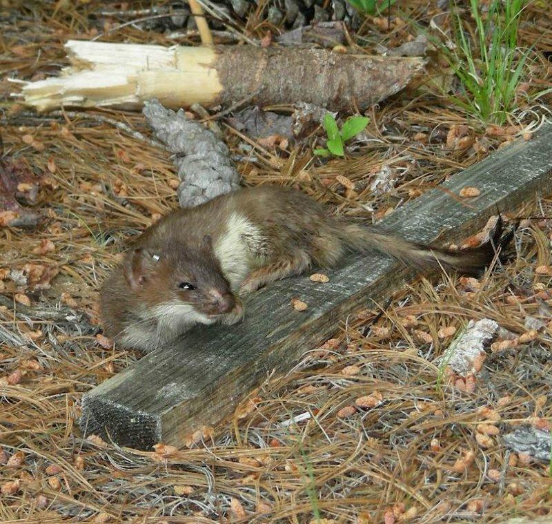 1sleepy shorttailed weasel.JPG